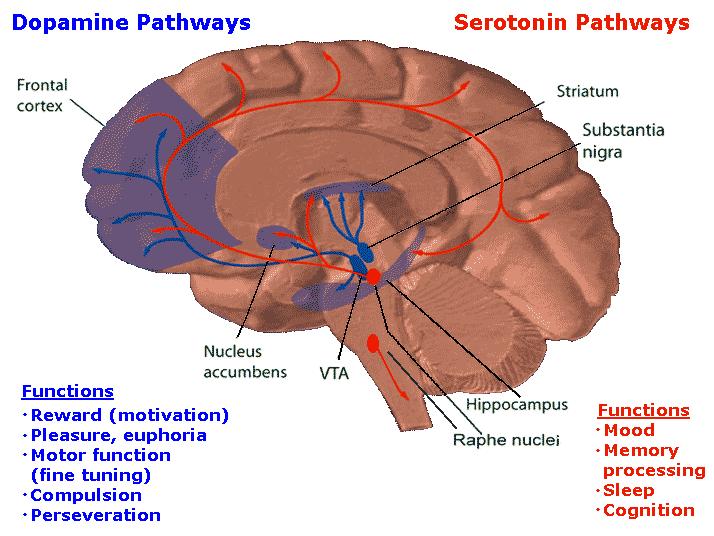 dopamine circuits